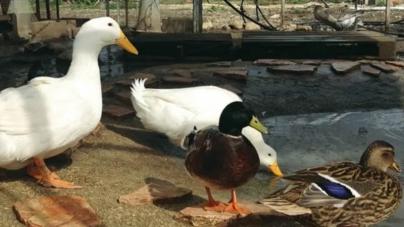 No, China is Not Sending Pakistan a 100,000 Ducks